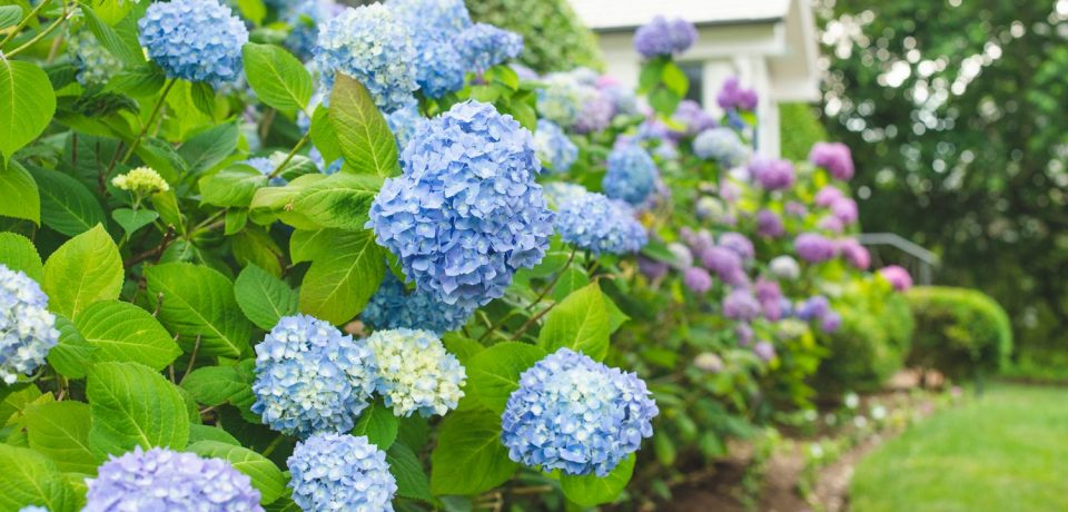 Hydrangea – Adding a Slice of Nature to Your Wedding Decor